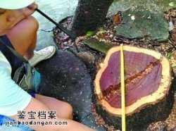 偷树贼:一锯子下去,百万黄花梨树毁了!