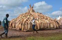 马未都博客文章第1354篇:象牙,保护大象责无旁贷