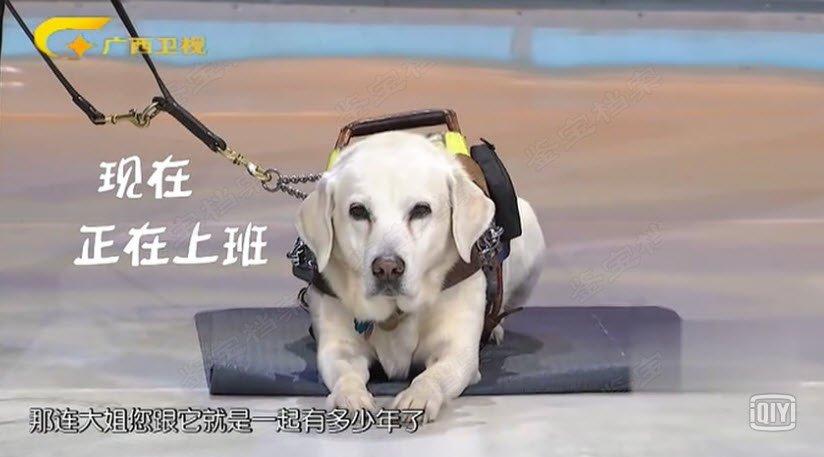 20180324收藏马未都视频和笔记:导盲犬,警犬,缉毒犬,工作犬